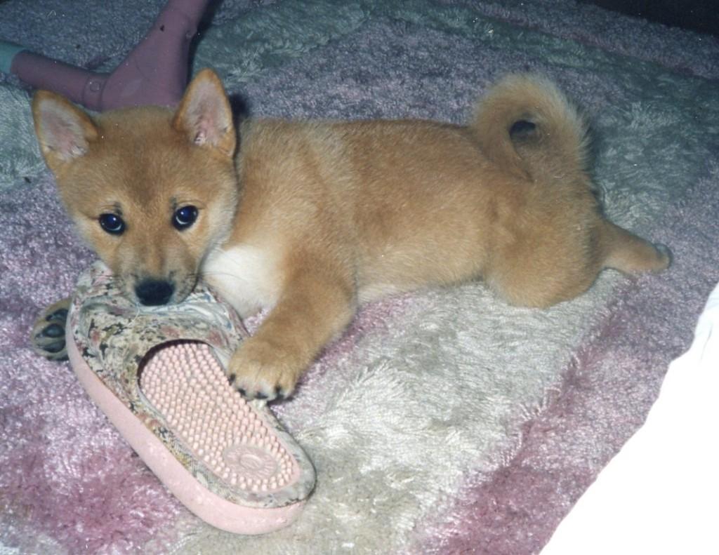 Shiba-inu baby -
